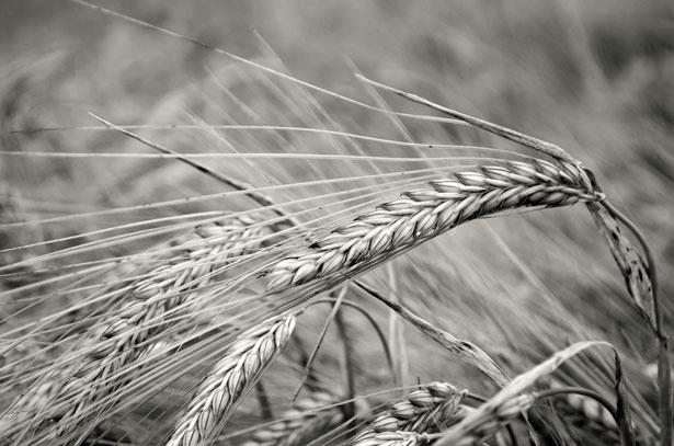 Sumer - Barley